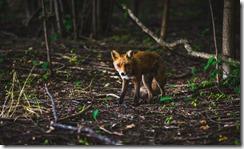 fox_thumb.jpg